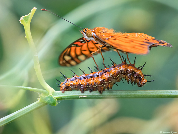 GF butterfly and caterpillar