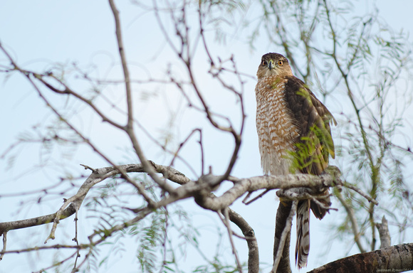 Cooper's Hawk scoping things out