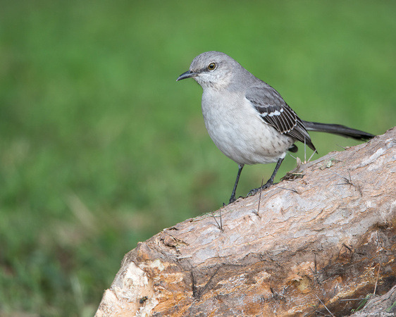 Mockingbird D800