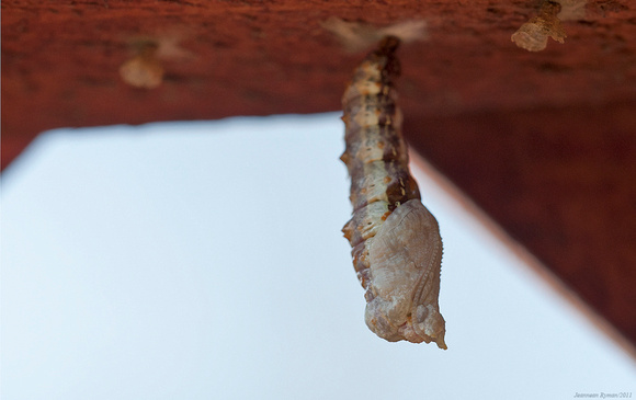 Starting to form chrysalis