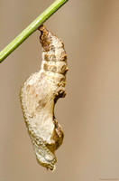 Another chrysalis